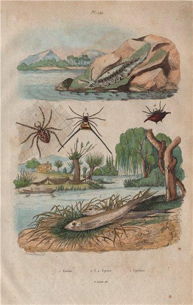 Associate Product Eolide (Aeolidioidea - sea slug). Epeire (Spiders). Eperlan (Mudfish) 1833