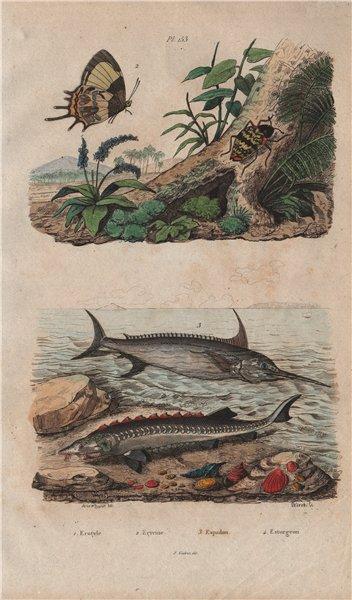 Associate Product Erotylidae (pleasing fungus beetle). Erycina butterfly. Swordfish. Sturgeon 1833