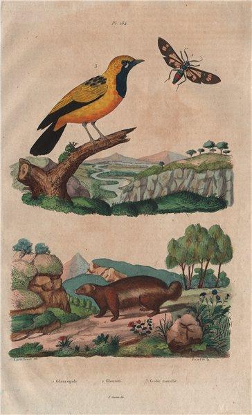 Associate Product Glaucopide. Glouton (Wolverine). Gobemouche (Flycatcher) 1833 old print