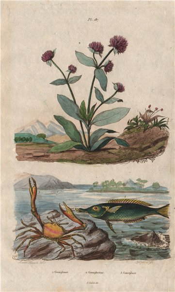 Associate Product Green birdmouth wrasse. Globe Amaranth. Goneplax rhomboides (angular crab) 1833