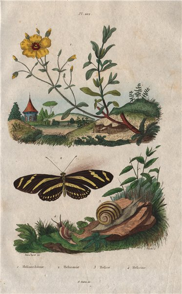Associate Product Rock rose. Heliconius/longwing butterfly.Arianta/Helix (copse/edible snail) 1833