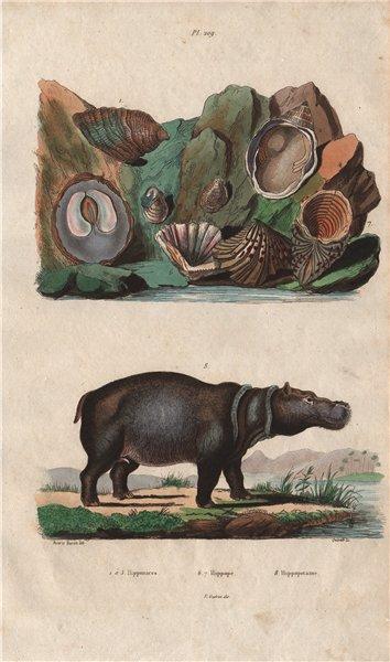 Associate Product Hipponix (hoof snails/shells). Cardita hippopea. Hippopotame (Hippopotamus) 1833