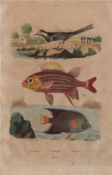 Associate Product White wagtail. Holacanthus angelfish. Holocentrinae (squirrelfish) 1833 print