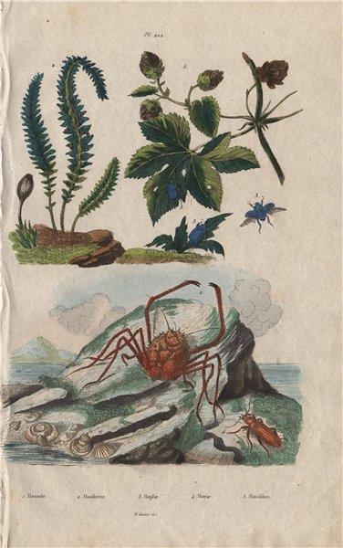 Associate Product Homola crab. Hookerie. Hoplia coerulea. Horia beetle. Houblon (Hop) 1833 print