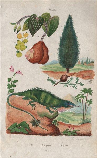 Associate Product Taxus baccata (English Yew). Igname (Yam). Iguane (Iguana) 1833 old print