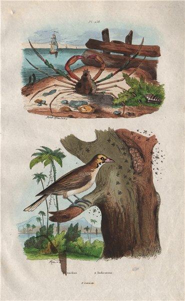 Associate Product ANIMALS. Inachus crab. Indicator bird (Honeyguide) 1833 old antique print