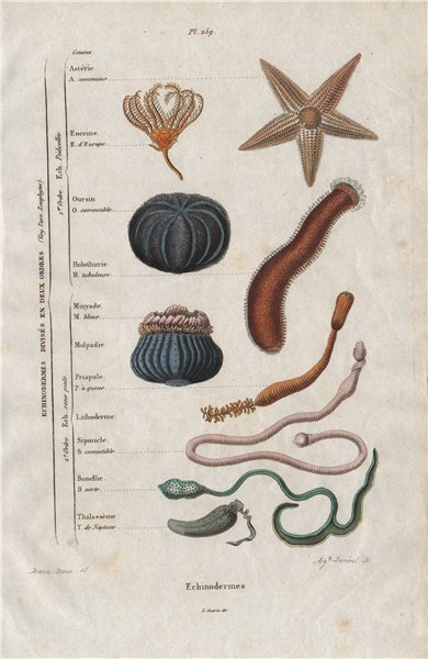 Associate Product ECHINODERMS. In 2 orders. Classification. Marine animals 1833 old print