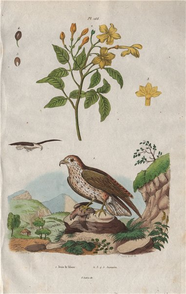 Associate Product INDRE. Jean Leblanc (Short-toed Snake Eagle). Jasmin (Jasmine) 1833 old print
