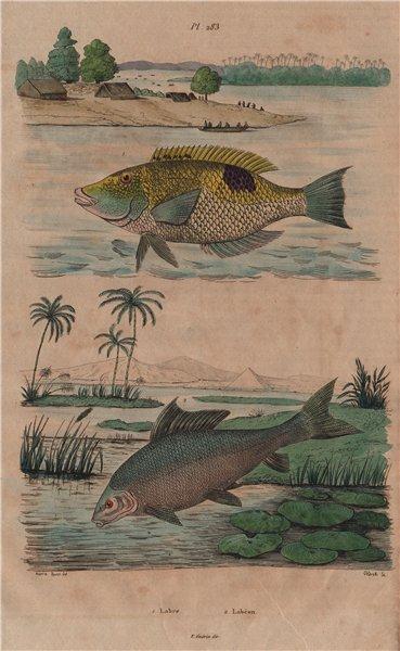 Associate Product FISH. Labre (Wrasse). Labéon (Labeo) 1833 old antique vintage print picture