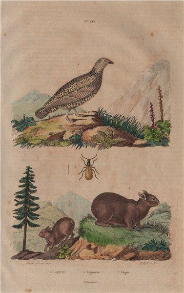 Lagomys (Pika). Lagopède (Ptarmigan). Lagria hirta 1833 old antique print