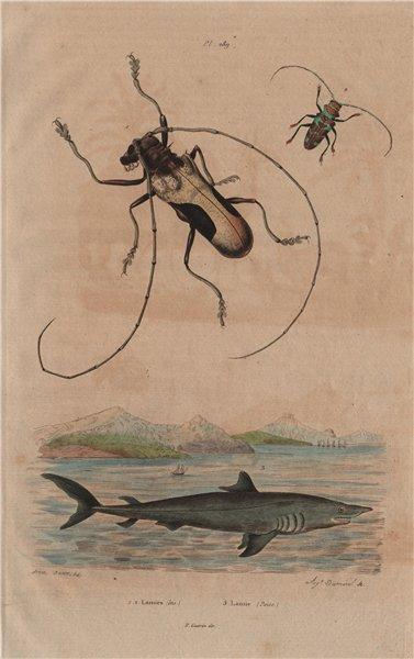 Associate Product ANIMALS. Lamia textor (Weaver Beetle). Mackerel Shark 1833 old antique print