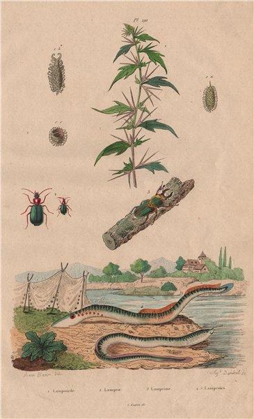 Associate Product Lampourde/cocklebur.Lamprias.Lamprima oenea/Cuvier beetle.Lamproies/Lamprey 1833