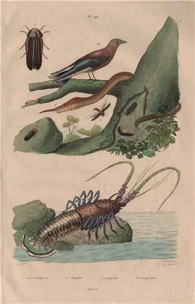 Associate Product Lampyris (firefly). Langaha snake. Langouste (Spiny lobster). Woodswallow 1833