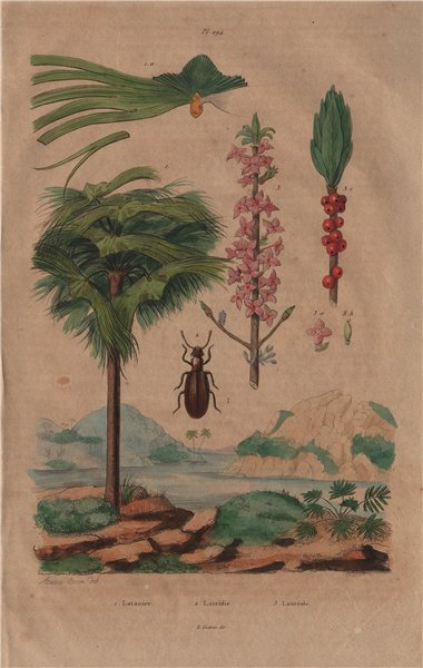Associate Product Latania (Red Latan Palm). Latridius beetle. Lauréole (Laurel) 1833 old print