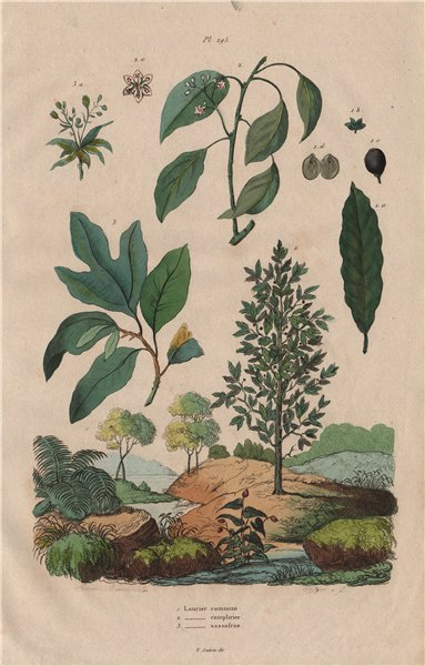 Associate Product LAUREL TREES Common Laurel. Camphor Laurel. Sassafras 1833 old antique print