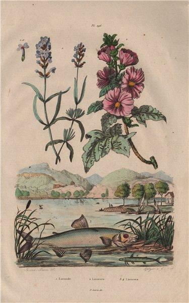 Lavande (Lavender). Lavatera (tree mallows). Lavarets (Whitefish) 1833 print