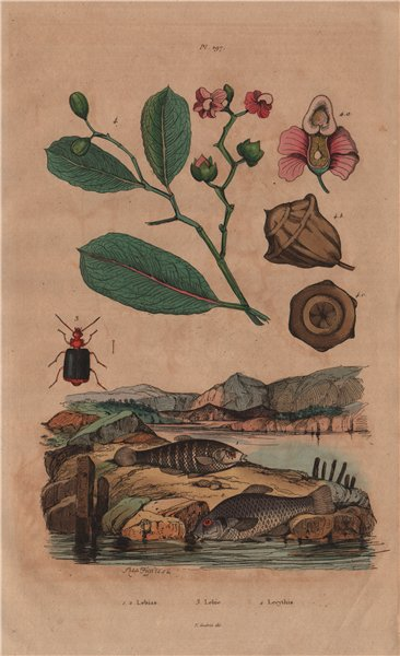 Associate Product Lebias fish. Lebia Grandis (Ground Beetle). Lecythis plant 1833 old print