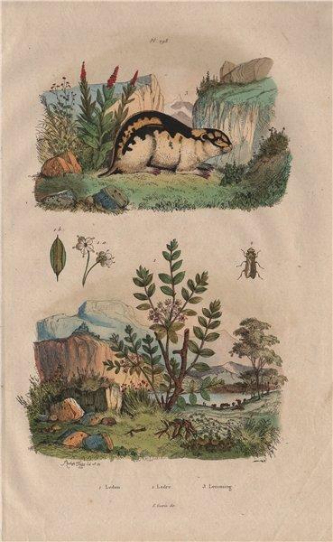 Associate Product Ledum (Labrador Tea). Ledra (Leafhopper). Lemming 1833 old antique print