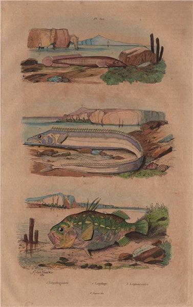 Associate Product Clingfish.Lepidopus/silver scabbardfish.Monocentris/pinecone/pineapple fish 1833
