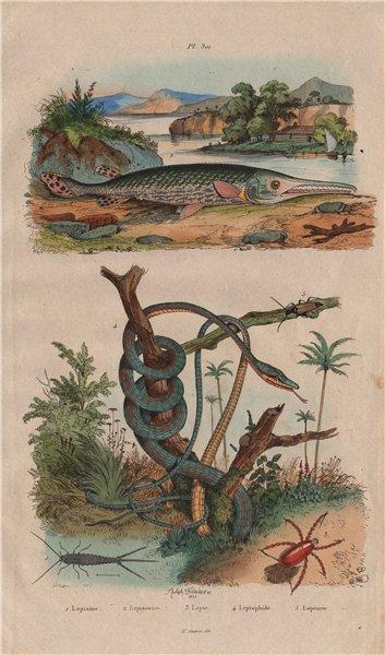 Lepisma (silverfish). Lepisosteus (Gar fish). Red velvet mite. Parrot snake 1833