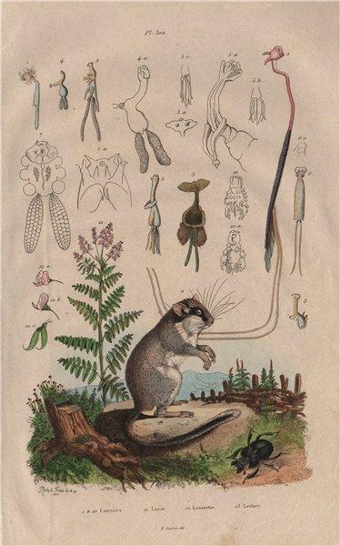 Associate Product Lernées. Lerot (Garden Dormouse). Lessertia. Lethre 1833 old antique print