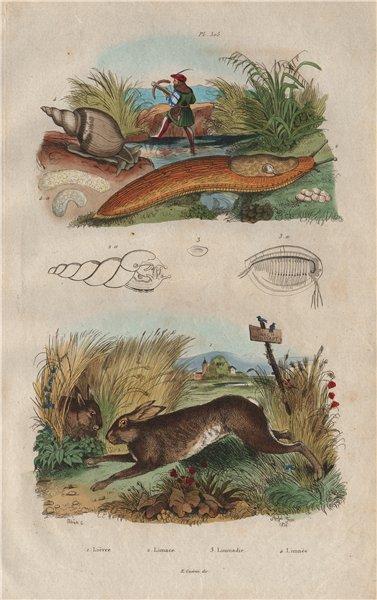 Associate Product Lièvre (Hare). Limace (Slug). Limnadie. Lymnaea (pond snail) 1833 old print