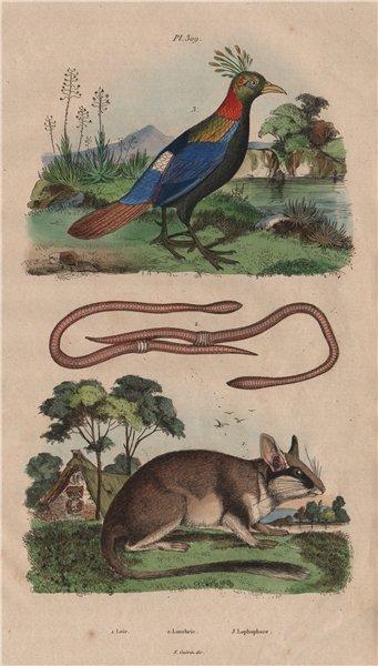 Loir (Dormouse). Lombric (Earthworm). Lophophorus (Himalayan Mona monkey) 1833