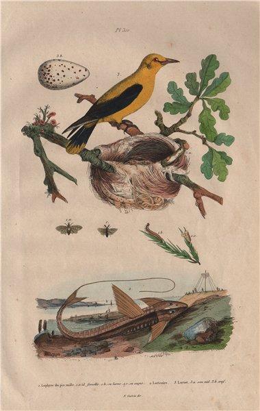 Associate Product Pine saw-fly. Loricaria Catfish. Eurasian Golden Oriole. Nest. egg 1833 print