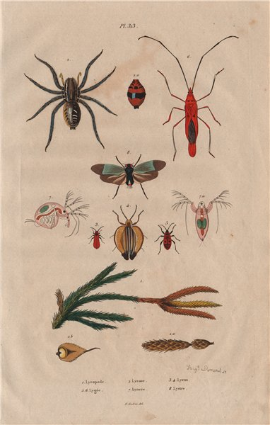 Associate Product Ground pine.Wolf spider.Lycus beetle.Lygaeidae.Lynceus.Lystra/planthopper 1833