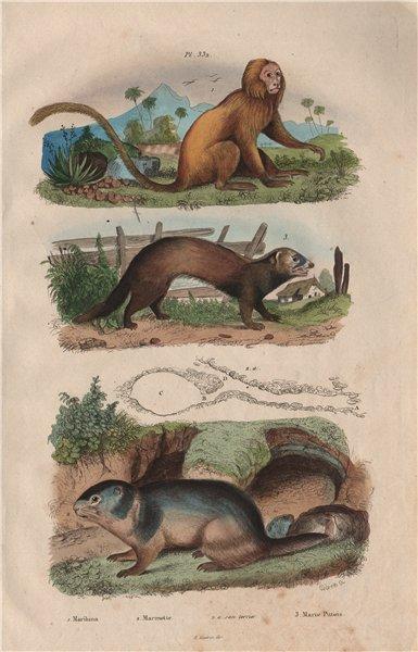 Marikina (Golden Lion Tamarin). Marmot. European polecat (Mustela putorius) 1833