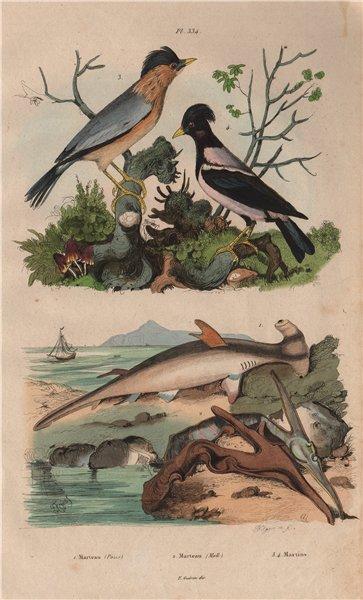 Associate Product Marteau (Hammerhead shark). Isognomon. Martin birds 1833 old antique print