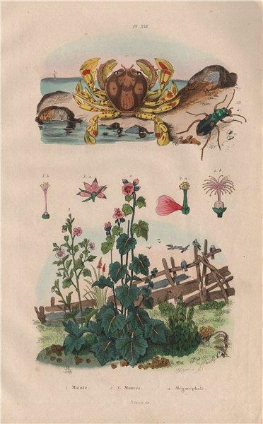 Associate Product Matutidae (moon crab). Malva sylvestris (Mallow). Cicindela (tiger beetle) 1833