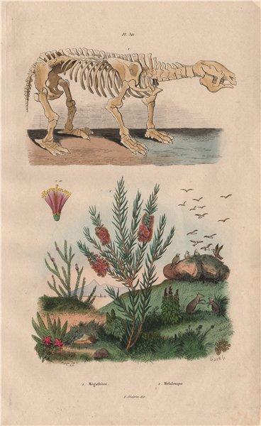 Associate Product Megatherium. Melaleuca alternifolia (narrow-leaved Tea-Tree) 1833 old print