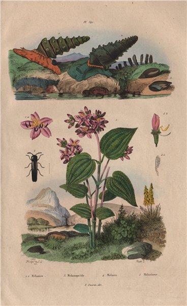Associate Product Melania snail.Melanopside buccinoide.Melasidae/false click beetle.Melastoma 1833
