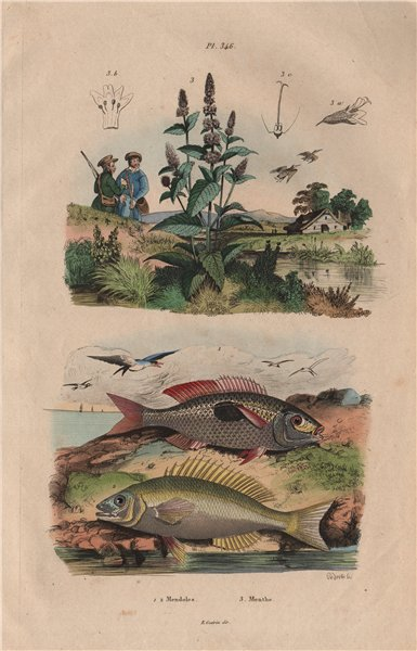 Associate Product Mendoles (African sicklefish Spadefishes Percoids). Menthe (Mint) 1833 print