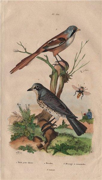 Associate Product Grive litorne (Fieldfare). Merodon hoverfly. Mésange (Bearded Reedling) 1833