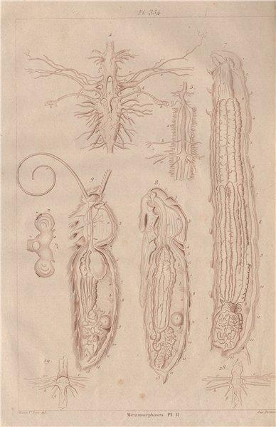 Associate Product LEPIDOPTERA. Métamorphoses. Metamorphosis. Pl. II 1833 old antique print