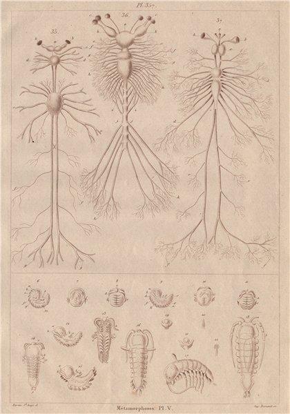 Associate Product INSECTS. Métamorphoses. Metamorphosis Pl. V 1833 old antique print picture