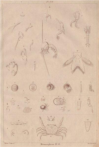 Associate Product CRUSTACEANS. Métamorphoses. Metamorphosis. Pl. VI 1833 old antique print