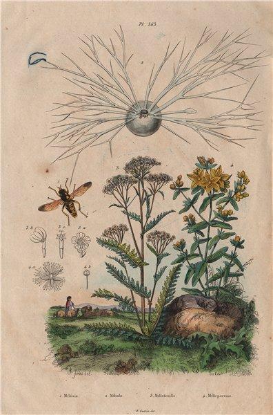 Associate Product Flower Fly. Miliolida. Yarrow. Hypericum perforatum (St John's wort) 1833