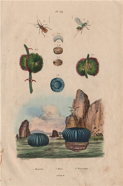 Associate Product Blue Minyade (Minyas caerulea). Miridae bug. Misocampe (Torymus philippii) 1833