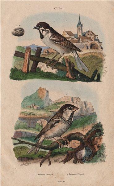 Associate Product Moineau Cisalpin (Italian sparrow). Moineau Friquet (Eurasian Tree Sparrow) 1833