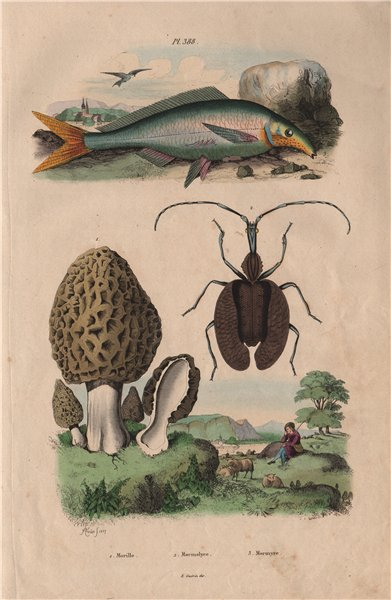 Associate Product Morille (Morel). Mormolyce (Violin Beetle). Mormyridae (Elephantfish) 1833
