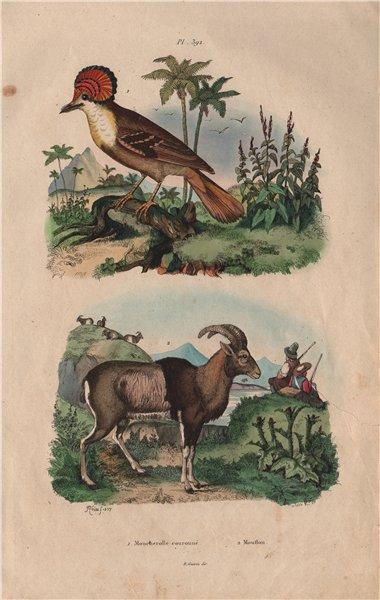 Associate Product Moucherolle Couronné (Crowned Flycatcher). Mouflon (wild sheep) 1833 old print