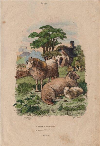 Associate Product SHEEP. Long tailed sheep. Merino. Mouton à grosse queue. Mouton Mérinos 1833