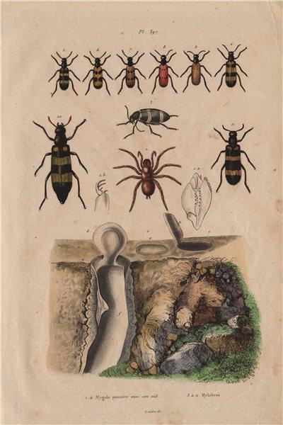 Associate Product Mygale pionière (Trapdoor spider) avec son nid (its nest). Mylabris beetles 1833