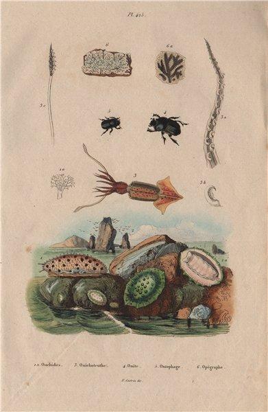Associate Product Onchidium sea slugs.Onychoteuthis squid.Onitis/Ontophagus beetles.Opegrapha 1833