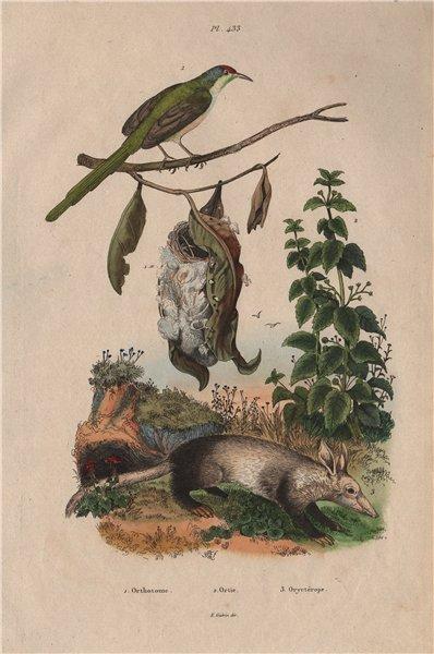 Associate Product Orthotome (Common Tailorbird). Ortie (Nettle). Oryctérope (Aardvark) 1833