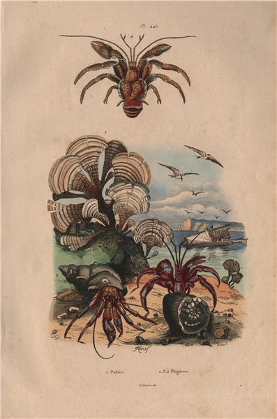 Associate Product SEASHORE. Padine (Peacock's tail). Pagures (Hermit Crabs) 1833 old print