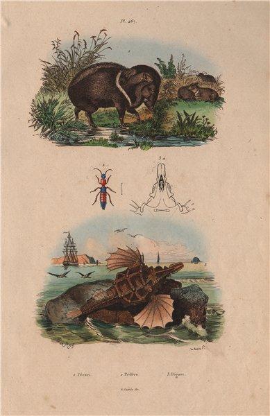 ANIMALS. Pécari (Peccary). Pédère. Pégase (Short Dragonfish) 1833 old print